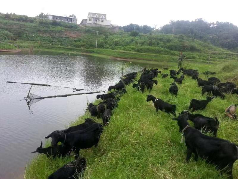 江安县江安镇黑山羊养殖协会